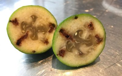 What is wrong with my feijoas?